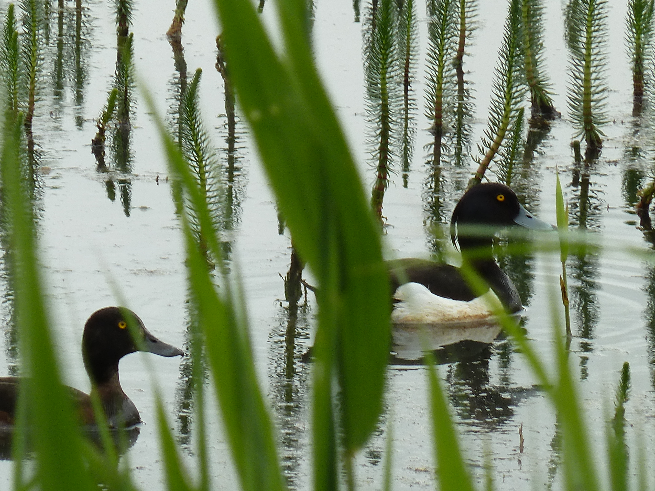 Tufted Duck in the Reeds.