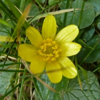 To The Small Celandine.