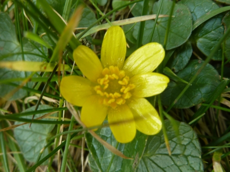 The Humble Celandine.