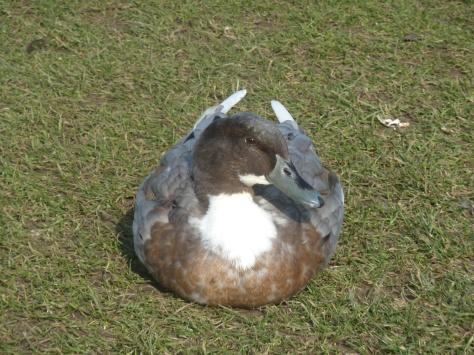 Ducky.