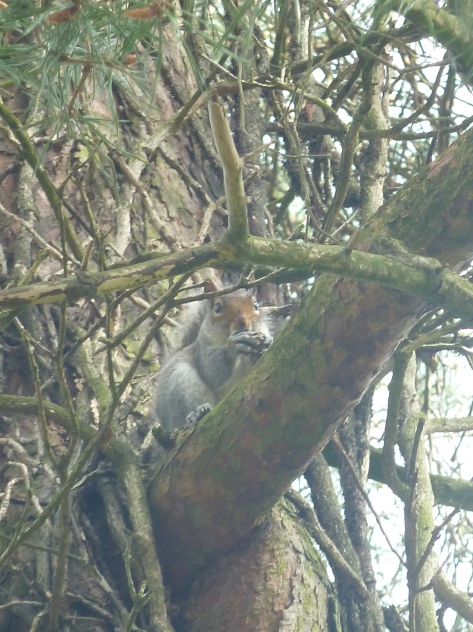 Grey squirrel tucking into his breakfast.
