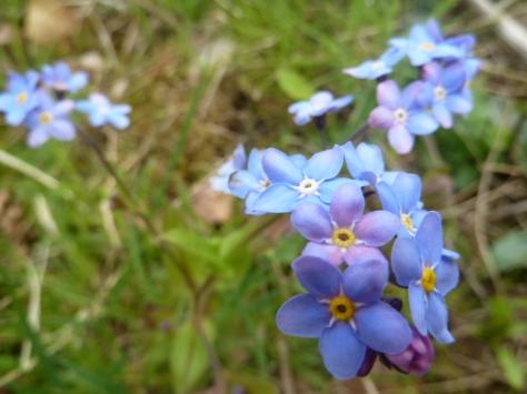 Vivid blue Forget Me Nots.