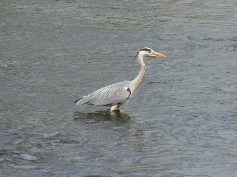 My Heron shot.
