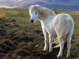 I'd love to meet some Icelandic ponies.