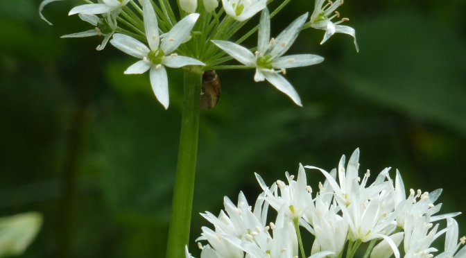 Wildlife and Wild Garlic.