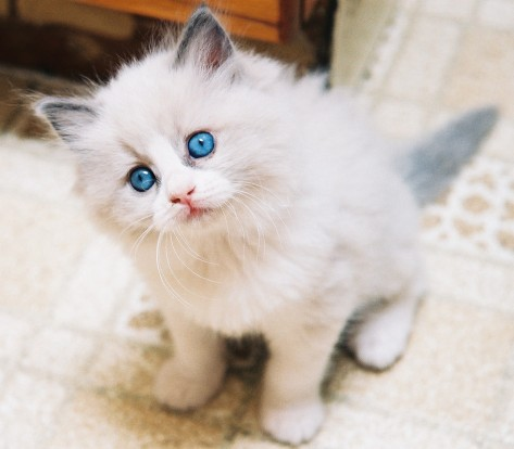 I imagine i will get a ragdoll kitten for our Paris apartment. Anyone fancy the job of caretaker? X