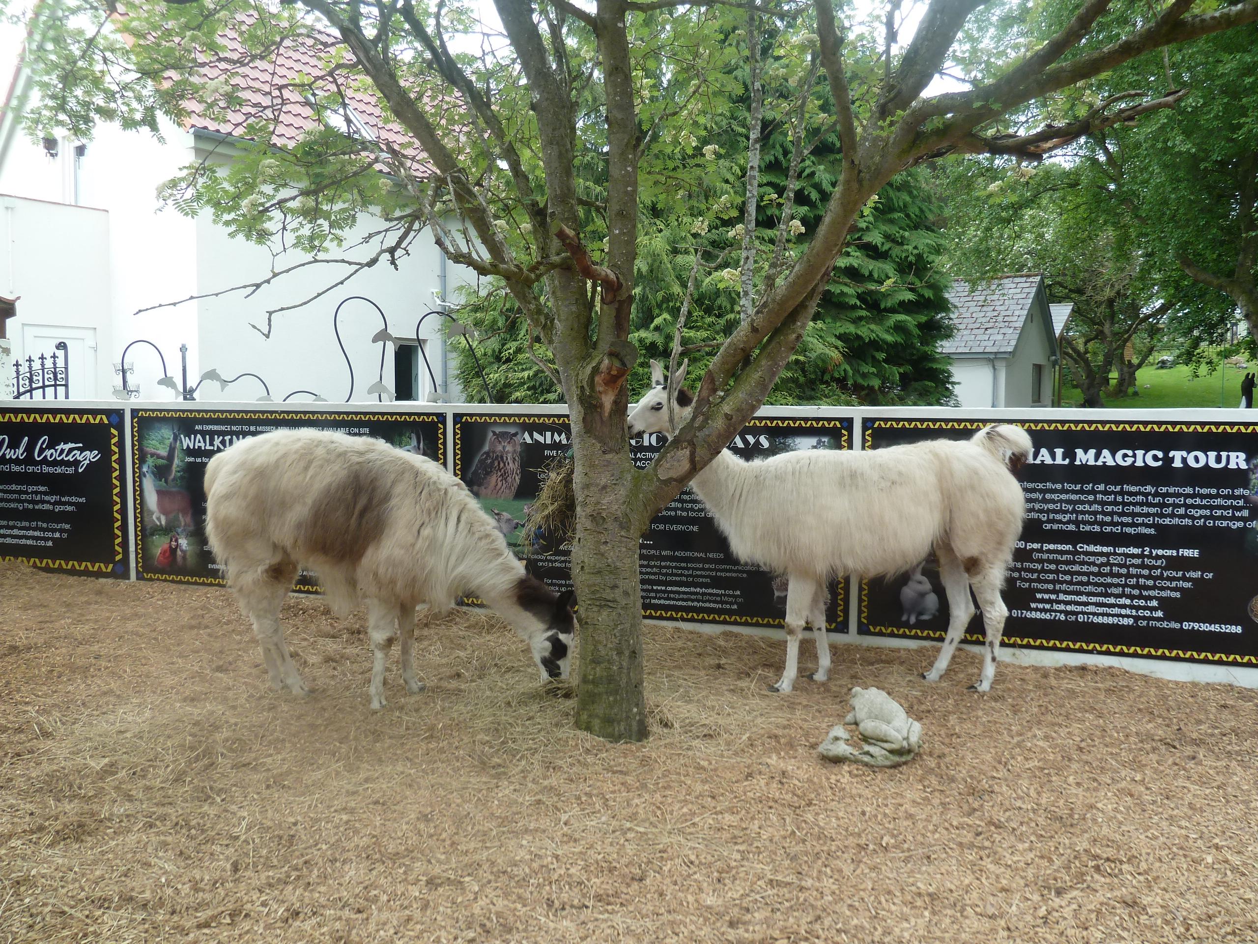 Llamas at the Llama Karma Cafe.