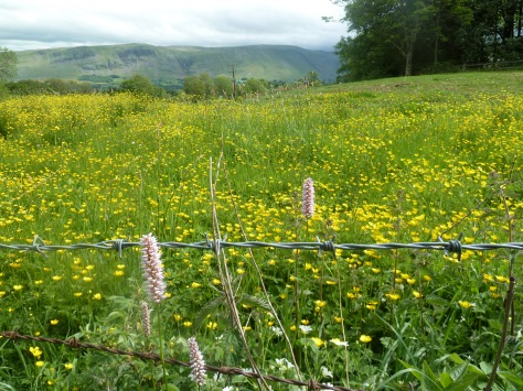 Buttercup meadows.