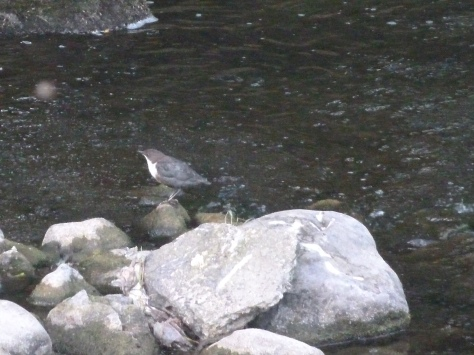 A Dipper in the brook. Wish I had managed to get more of his white bib.
