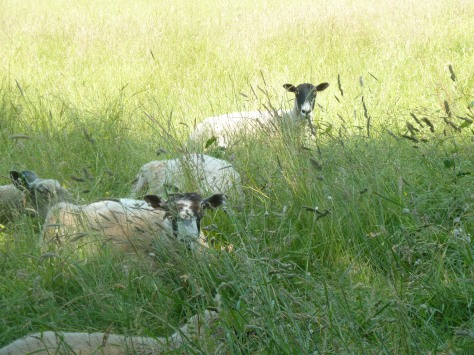 Shady sheep