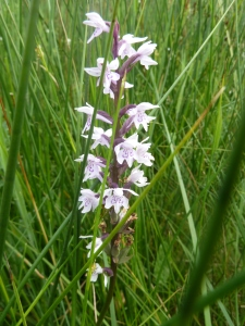 Orchid in Gisburn Forest.