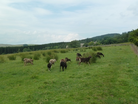 Soay and Boreray sheep.