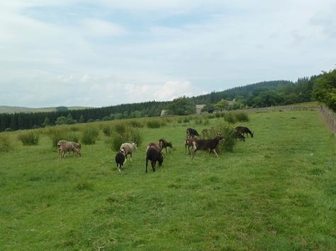 Soay and Boreray sheep.