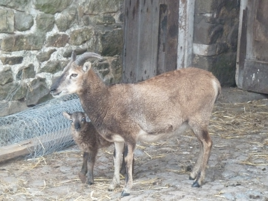 A new arrival. Born today and quite a surprise ~ a Soay sheep and her hours old lamb.