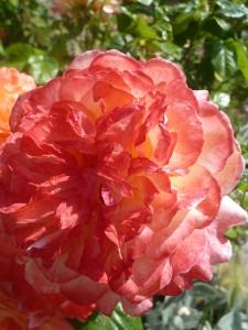 Samaritan Rose