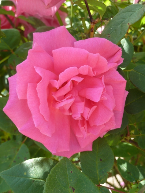 Bonnie Pink Rose.