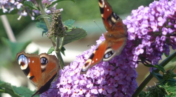 Butterflies and Budleia :)