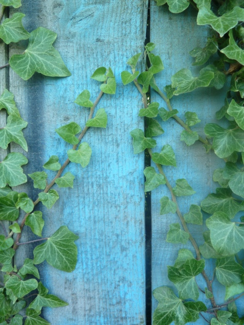 Ivy creeps up a shed.