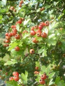 Hawthorn berries.