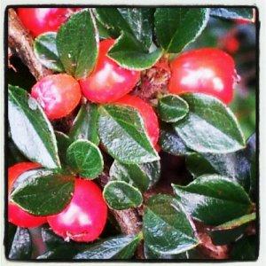 Scarlet Berries.