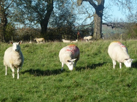 The Sheep are never shy.