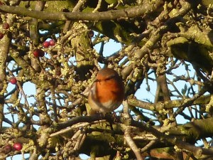 Robin red breast.