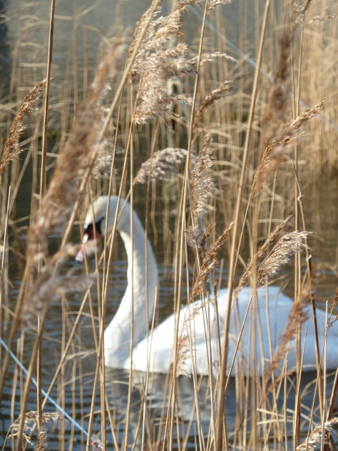Swan in the reeds.