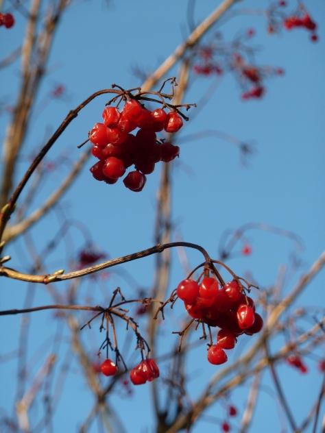 Translucent red berries.