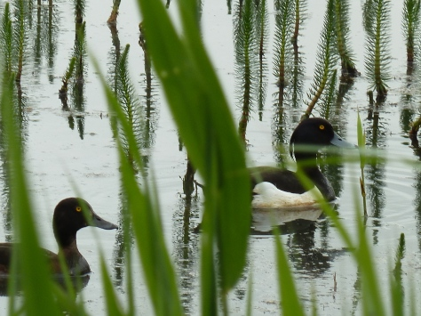 Tufted Ducks at RSPB Leighton Moss