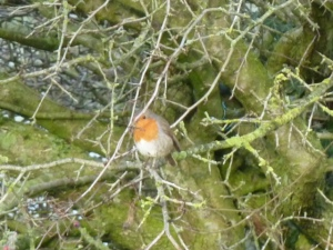 Singing robin.