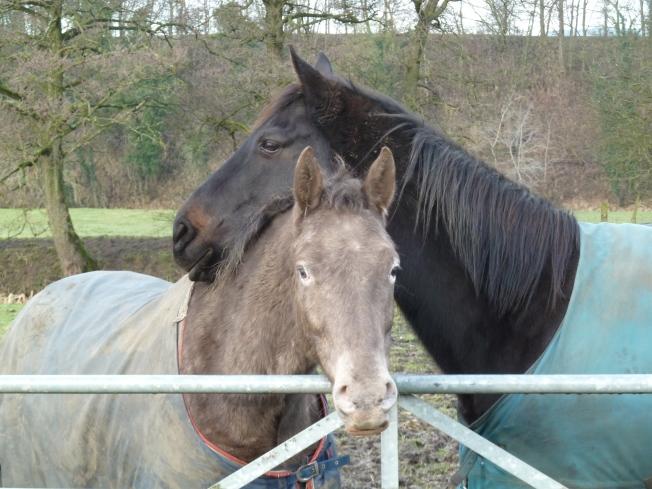 Horses snug in their blankets.