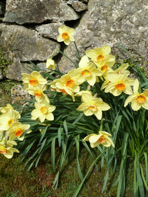 More Daffs.