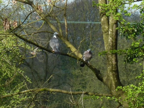 Cooing Wood Pigeons.