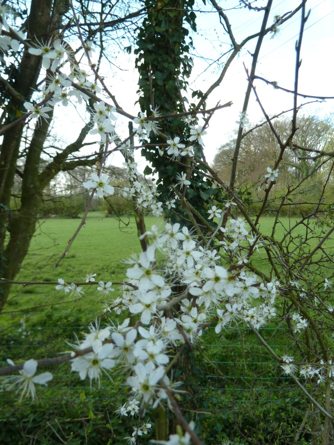 Blackthorn blossom.