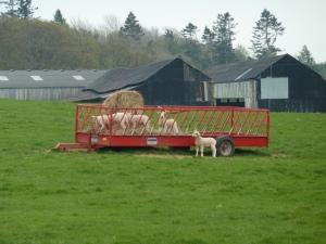 Playful lambs.