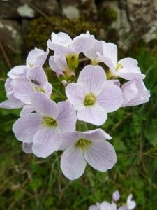 Cuckoo flower aka May flower.