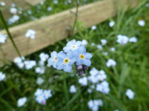 Vivid blue forgetmenots.