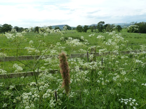 Cow parsley is also known as Queen Annes Lace.
