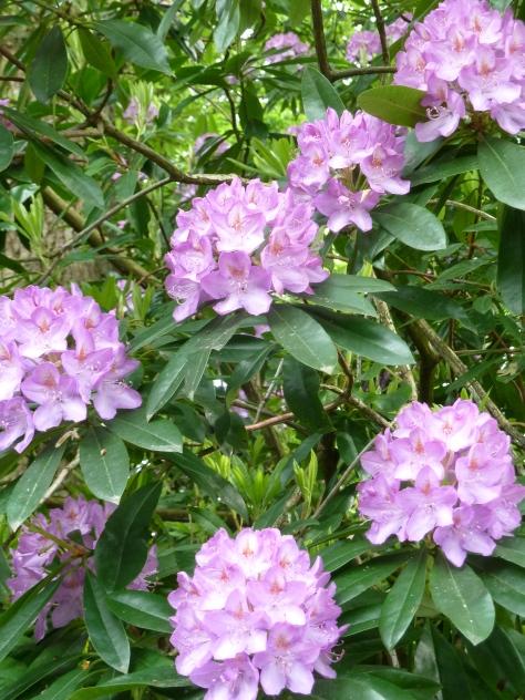 Pink Rhodedendrans.