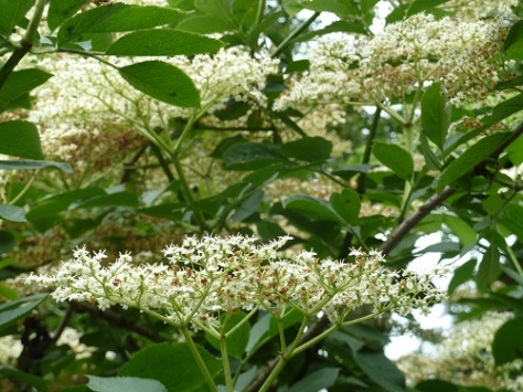 Elderflowers. The blooms of this sweet smelling shrub can be gathered and made into a refreshing summer cordial or wine.