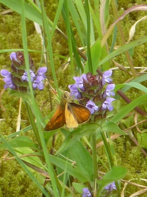 Not sure what butterfly this is. Maybe a skipper?