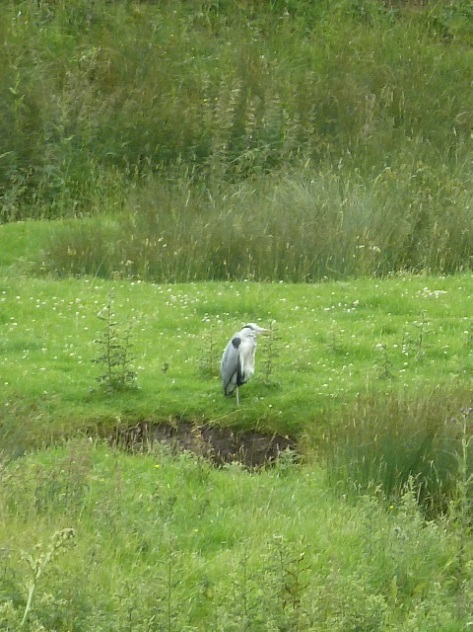 Didn't get a very good shot of this Heron.But it was fab to see him. :)