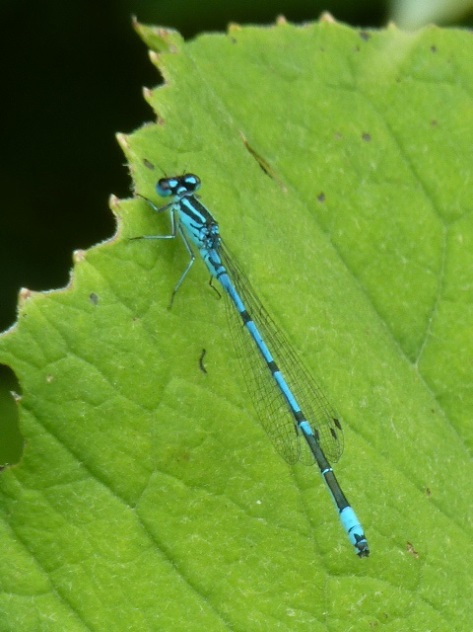 Dragonfly.What a gorgeous colour. :)