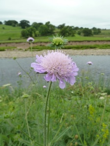 Scabious.