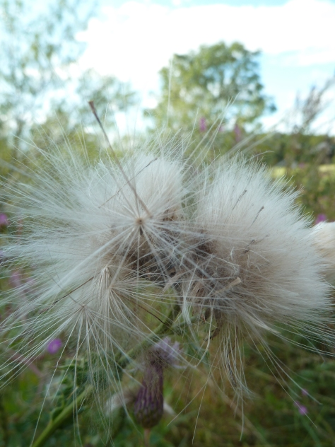 Thistle down.