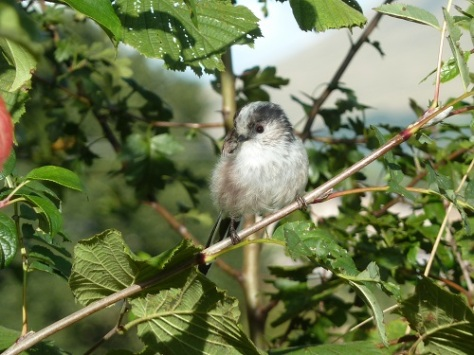 Long tailed tit.Soo cute.:)