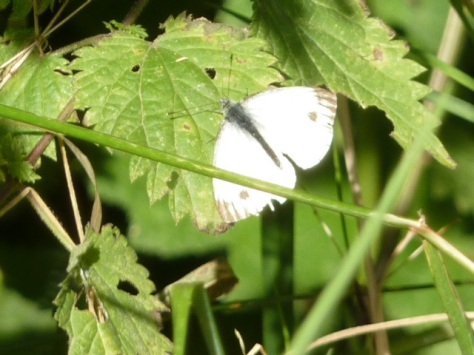 Cabbage White.
