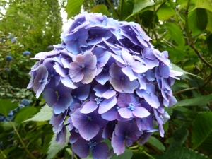 Beautiful hydrangea.