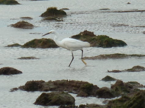 Little Egret, Bolton le sands.