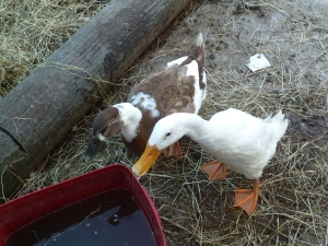 Ducks !